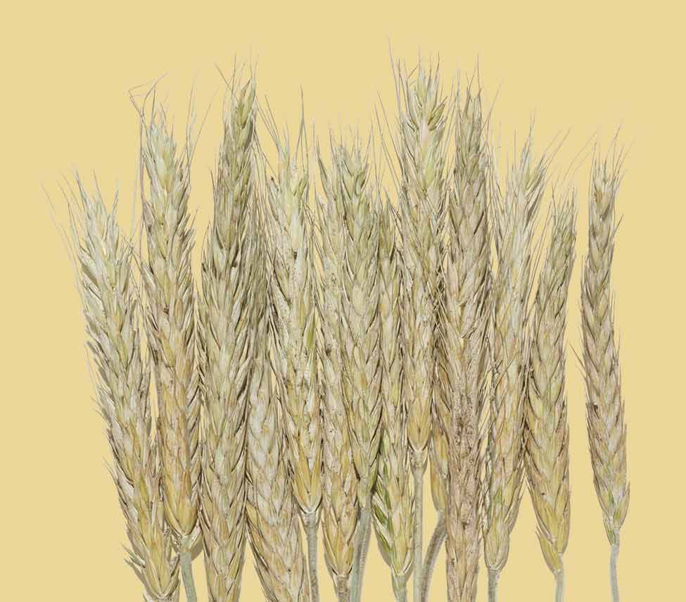 oat stalks against a yellow background