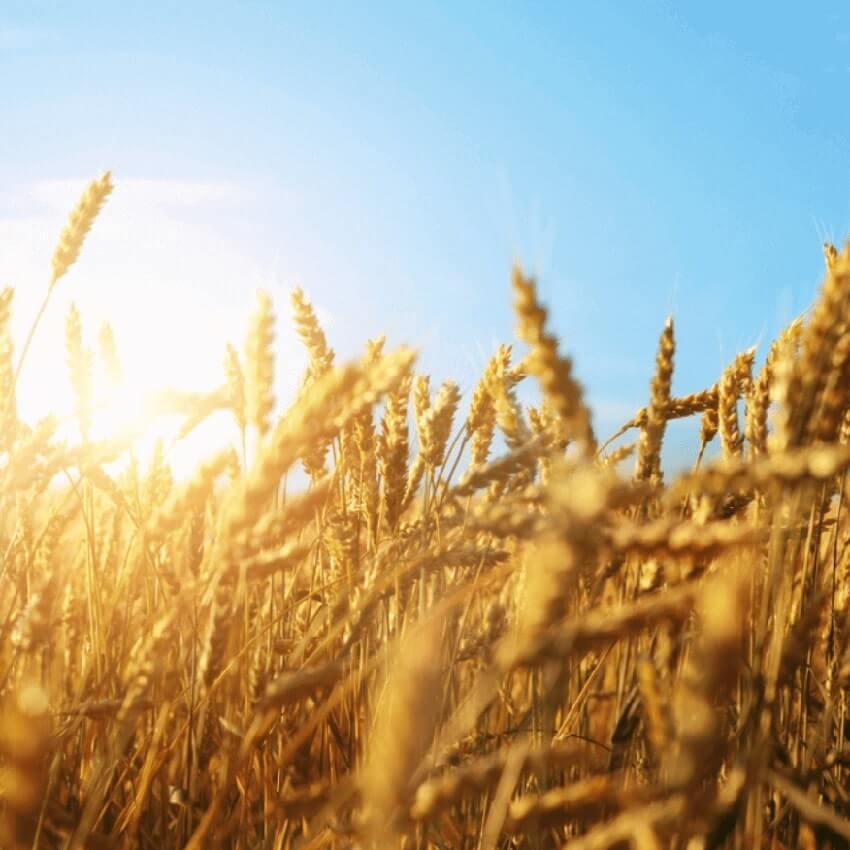 A sunny field of oats